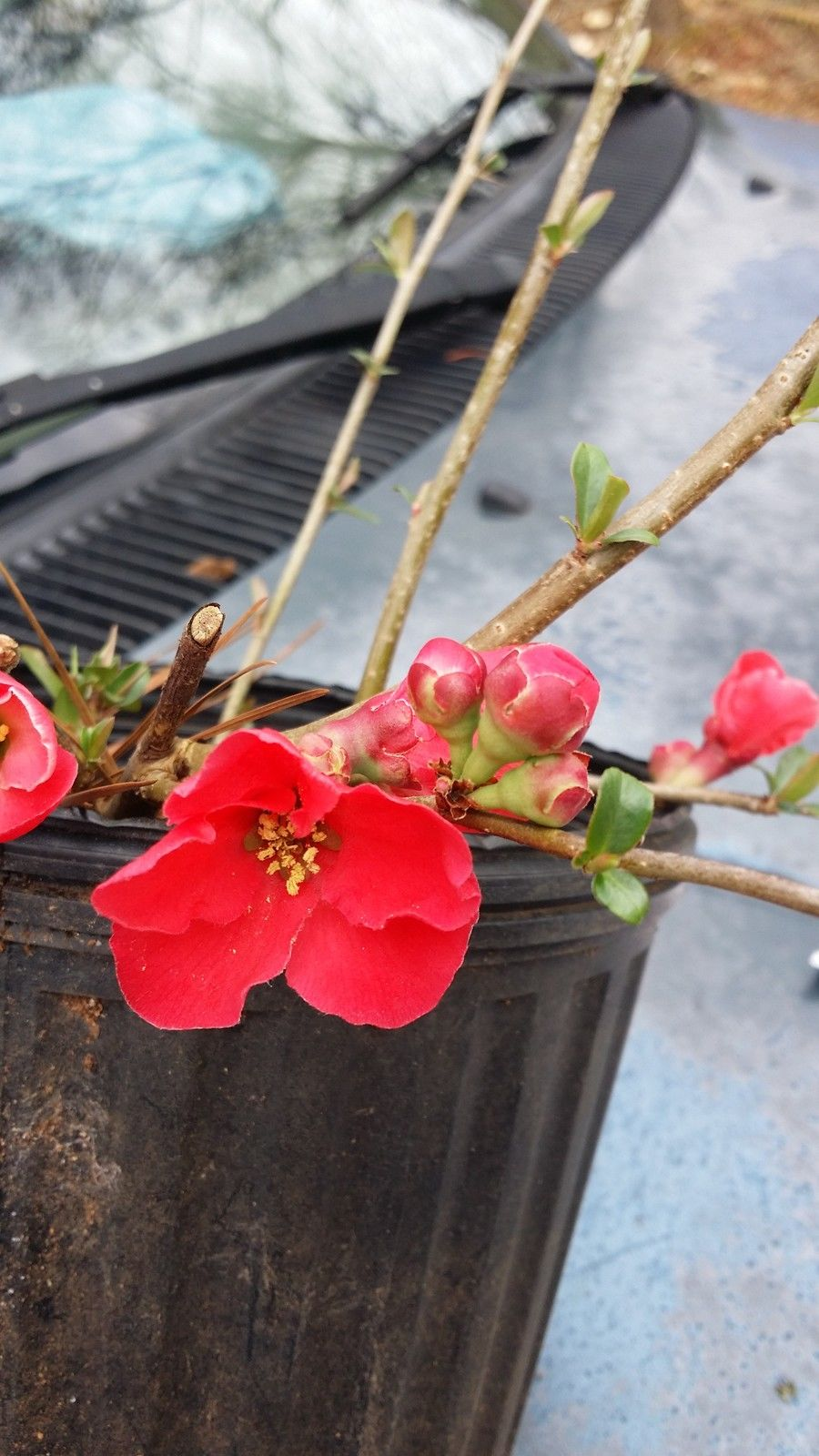 1 gallon pot-SPITFIRE FLOWERING QUINCE- grand red flowers in spring