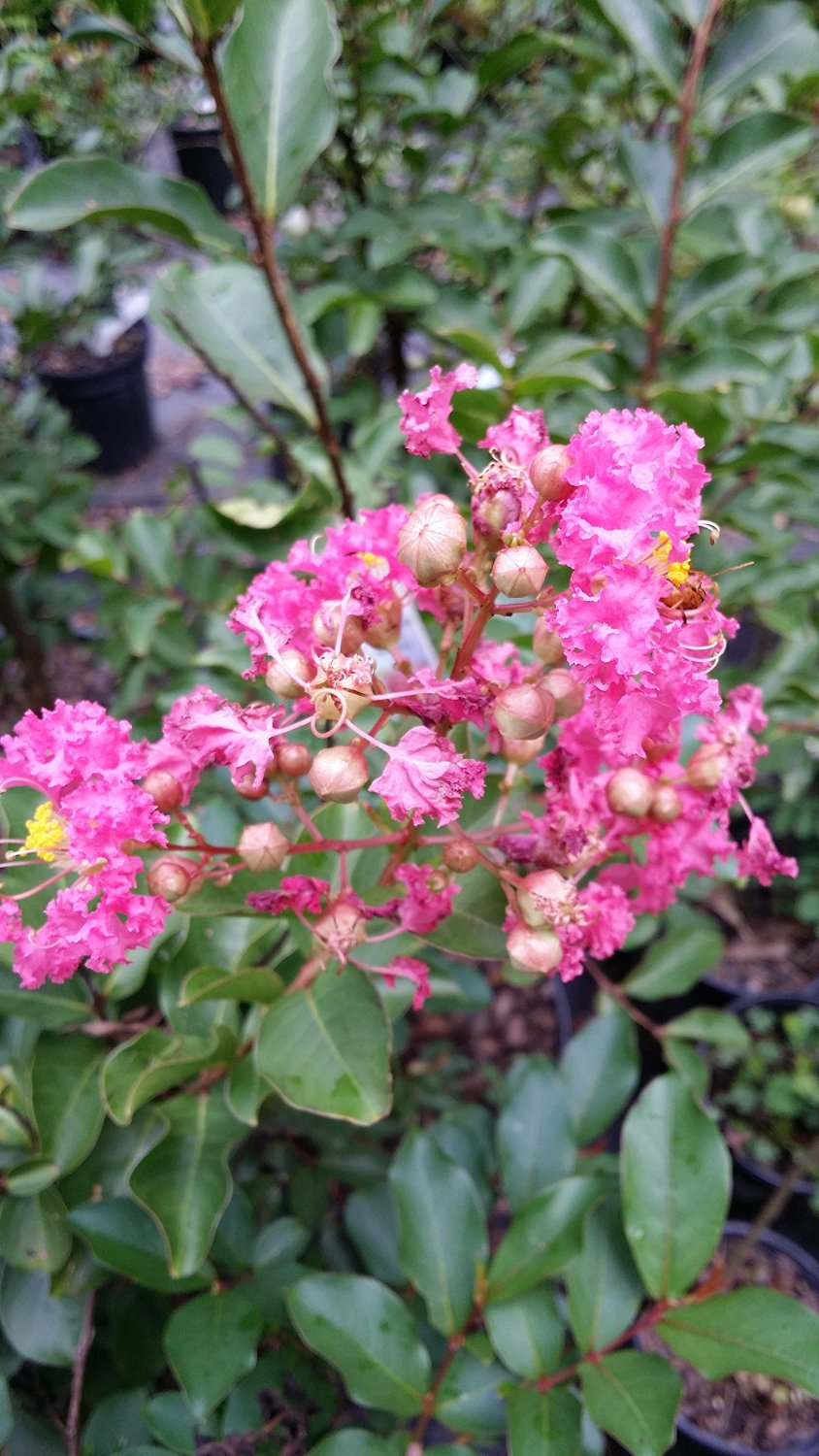 (1 Gallon) Sweetheart Dazzle® CRAPE MYRTLE, stunning DWARF, compact mounded shrub, gorgeous pink blooms from summer to fall