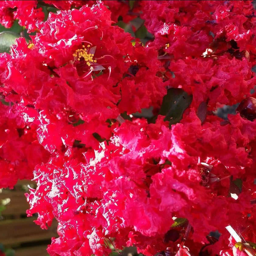 1 GALLON-Berry Dazzle®CRAPE MYRTLE, stunning DWARF, compact mounded shrub, gorgeous fuchsia blooms from summer to fall (Hydrangeas Shrub, Evergreens, Gardenia