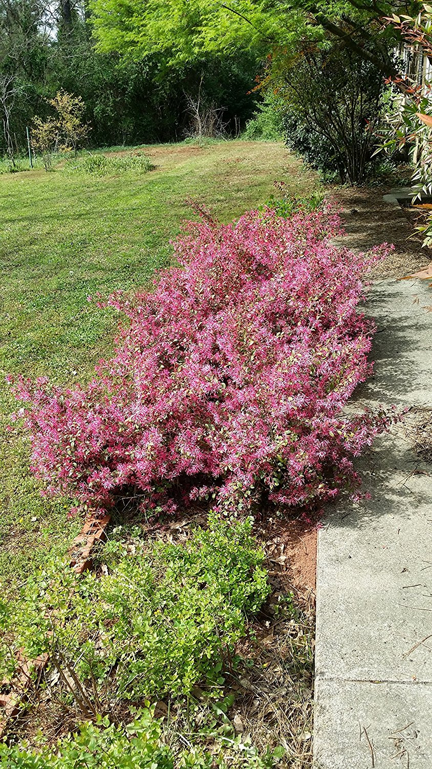(1 Gallon)    Sizzling Pink  LOROPETALUM (chinese fringe flower)-Burgundy Foliage, Pink Flowers