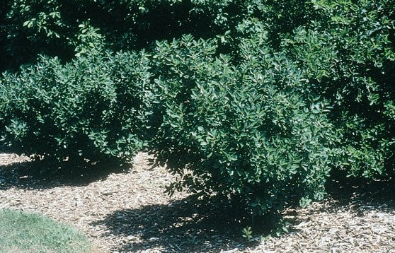 (1 Gallon) Southern Gentleman Holly- Handsome dense, rich green foliage on an upright, rounded form; excellent pollenizer for late-flowering female southern hollies PIXIES_DUD