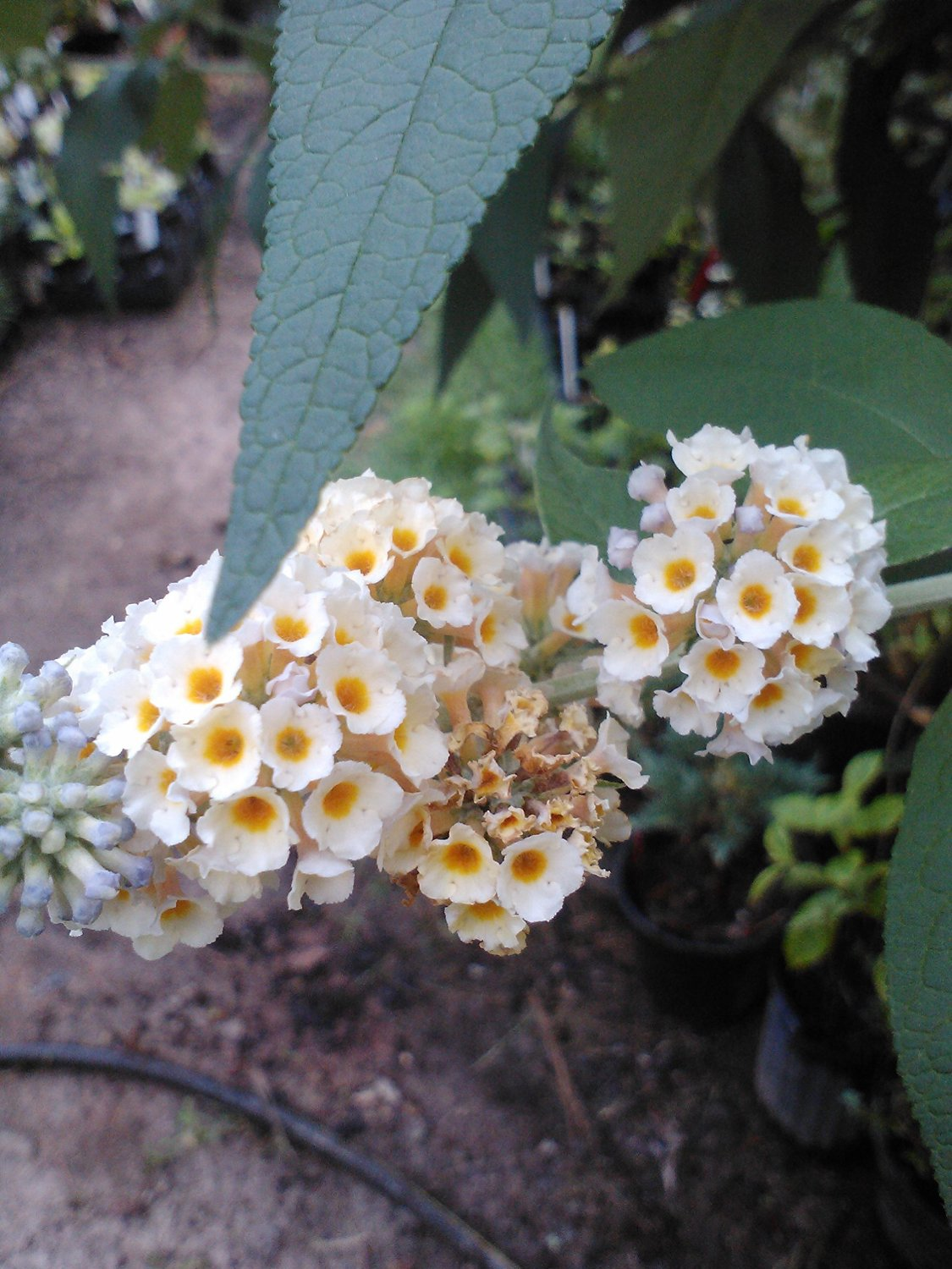 (1 Gallon) BICOLOR' Butterfly Bush, fragrant butterscotch yellow & lavender colored flowers,
