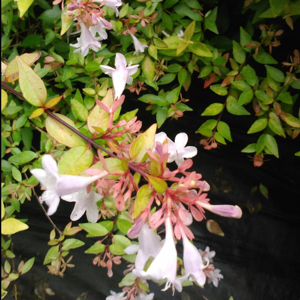 ABELIA GRANDIFLORA-FRANCIS MASON, compact evergreen with very showy leaves