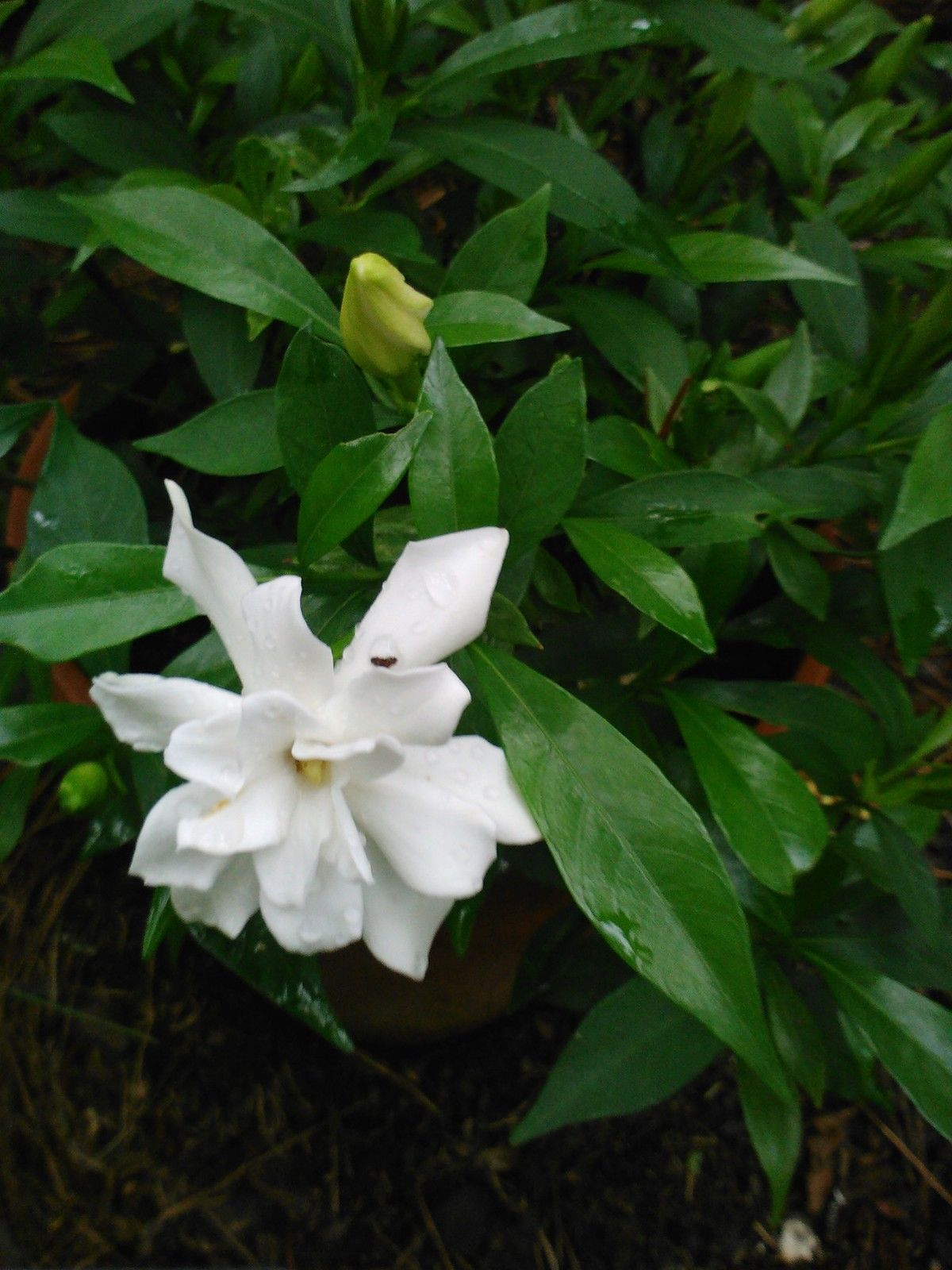 (1 gallon) Frost Proof Gardenia- Fragrant Evergreen, Can Handle Late Spring Frost
