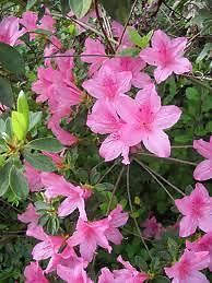 HYBRID JUDGE SOLOMON AZALEA - Hot pink flowers, Evergreen shrubs