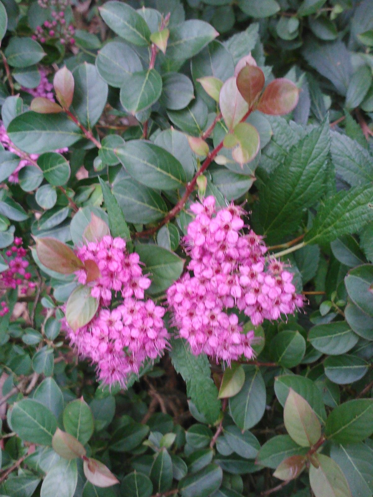 (1 gallon) NEON FLASH SPIREA, flashy hot pink flowers Compact,hardy shrub,adds lot of color