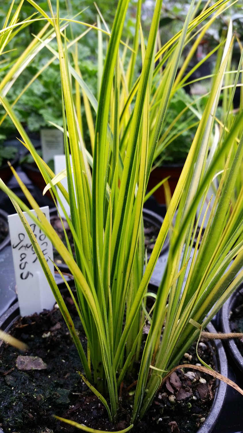 1 Gallon Pot: Grass: Acorus gramineus 'Ogon' Golden Variegated Sweet Flag , Upright foliage with green and yellow variegation, makes good bog plant, takes moist soil. PIXIESDS_EGN