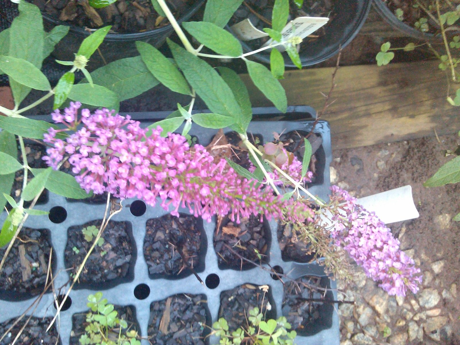 'SUMMER BEAUTY' Butterfly bush-lots of glorious rosy pink spikes of flowers