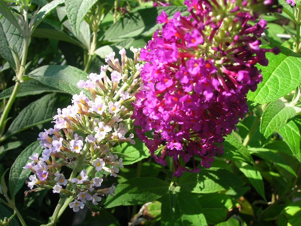(1 Gallon)     Attraction' Butterfly Bush, Dark  Reddish  Purple Flowers, introduced by Michael Dirr, 'a truly red variety'