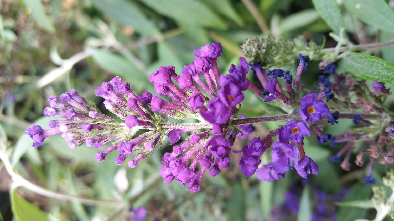 Buddleia Lo & Behold TM Blue Chip Butterfly Bush-- MINIATURE BUDDLEAS (2 ft tall), Blooms profusely and continuously, never needs deadheading.