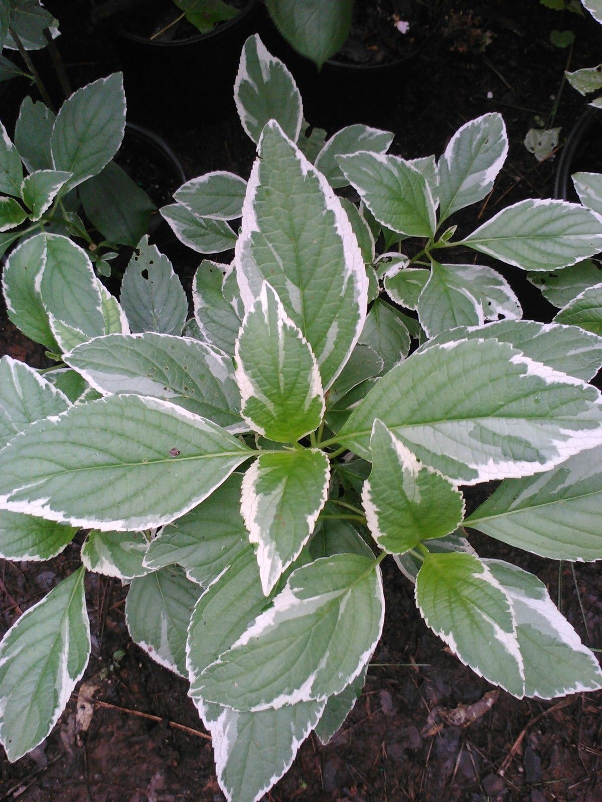 (Liner) VARIEGATA' HYDRANGEA-splendid variegation- green leaf with white margins
