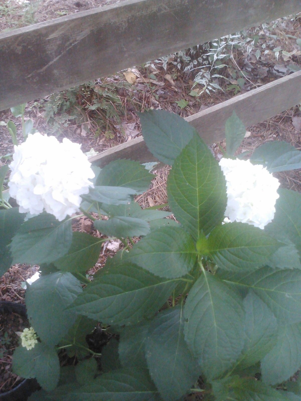 ' BOUNTY MOPHEAD ' HYDRANGEA- cold hardy, can take full sun, white flowers (gal)