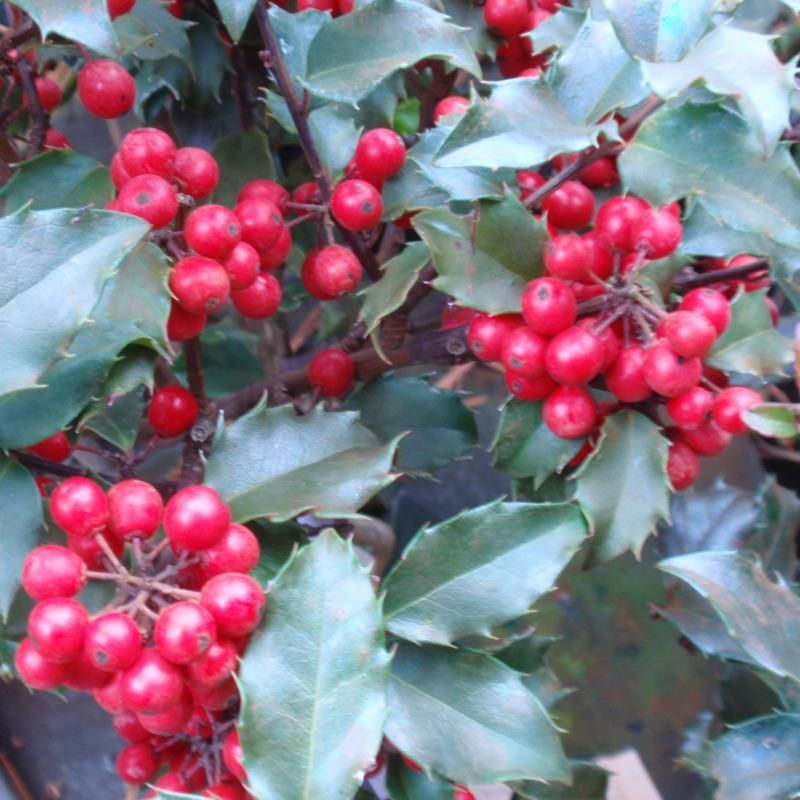 BLUE GIRL HOLLY year round interest,multifunctional evergreen, grand red berries