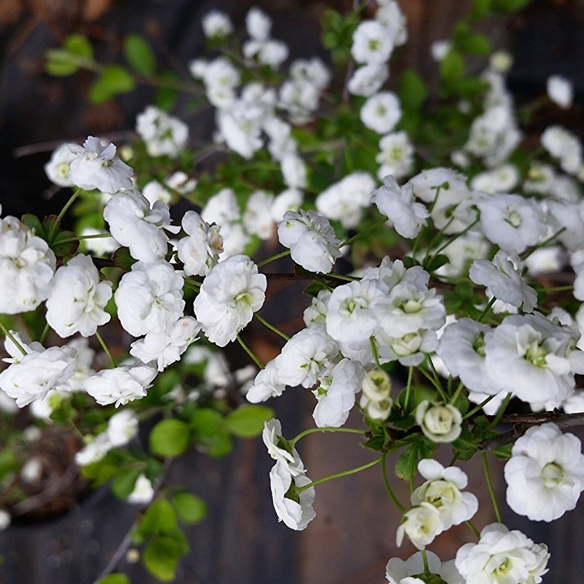(1 gallon) Spirea Prunifolia- Early Spring Bloomer, Lots of Small Double Blooms, the flowers bloom profusely on bare branches before the leave set in