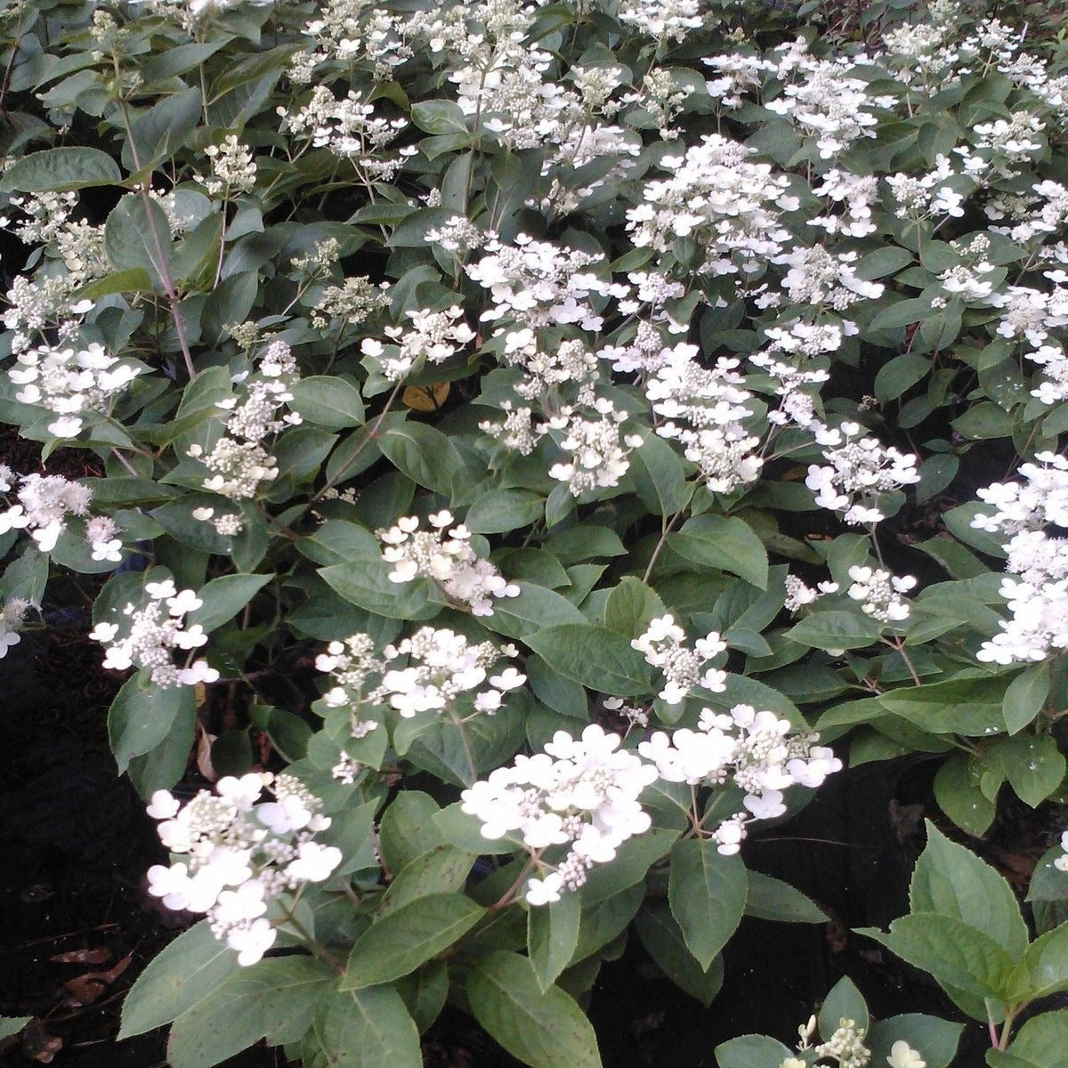 """Mariesii' Viburnum shrub -Gorgeous layered branching and flowers,(gallon)"