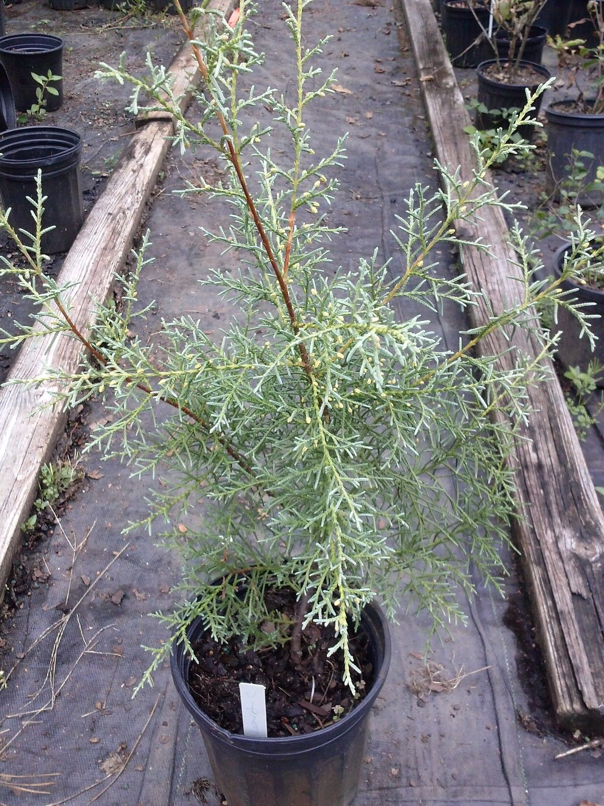 ARIZONA CYPRESS 'BLUE ICE' aromatic and great for dry places, beautiful plant
