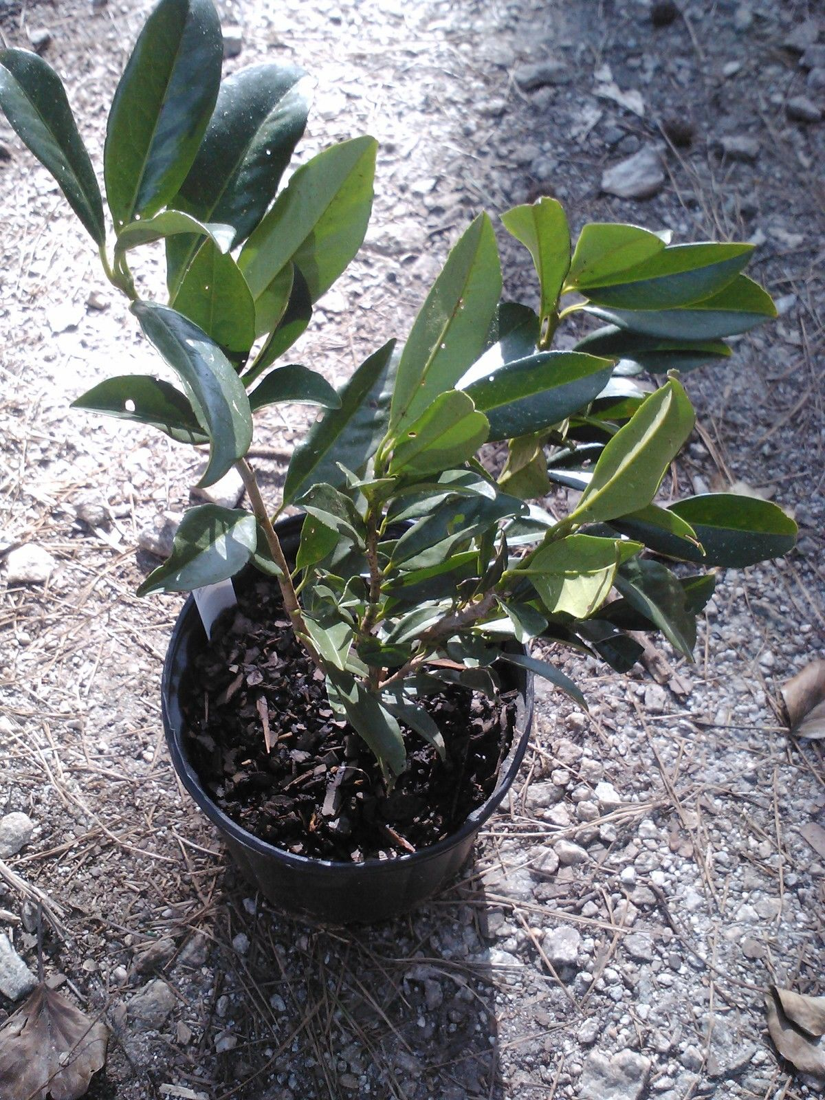 SCHIP LAUREL, a beautiful cold hardy evergreen plant great for low screens and hedges.