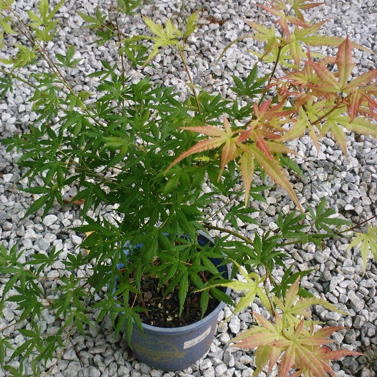 (1 Gallon) GLOWING EMBERS JAPANESE MAPLE, STUNNING GEORGIA GOLD MEDAL WINNER