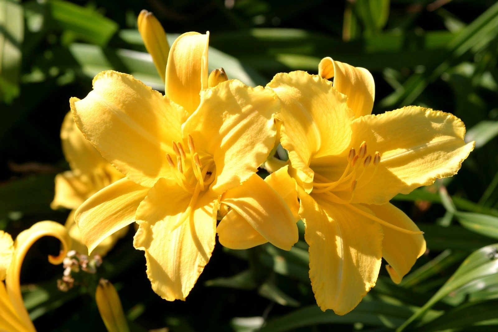 STELLA SUPREME Daylilly, re-blooming prolific bloomer, lemon yellow flowers
