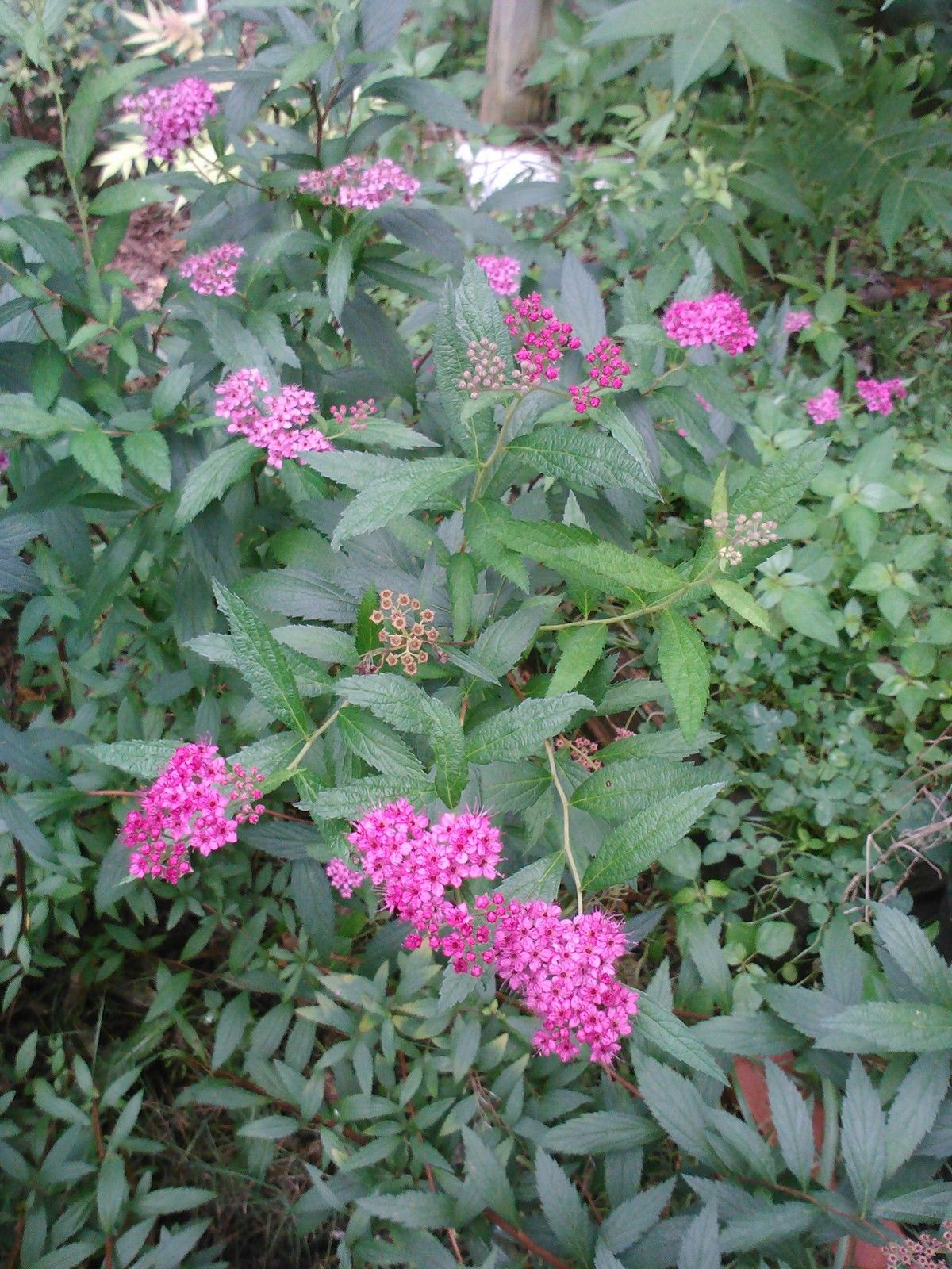 GOLDMOUND SPIREA- Pink flowers,golden spring foliage,small, compact shrub