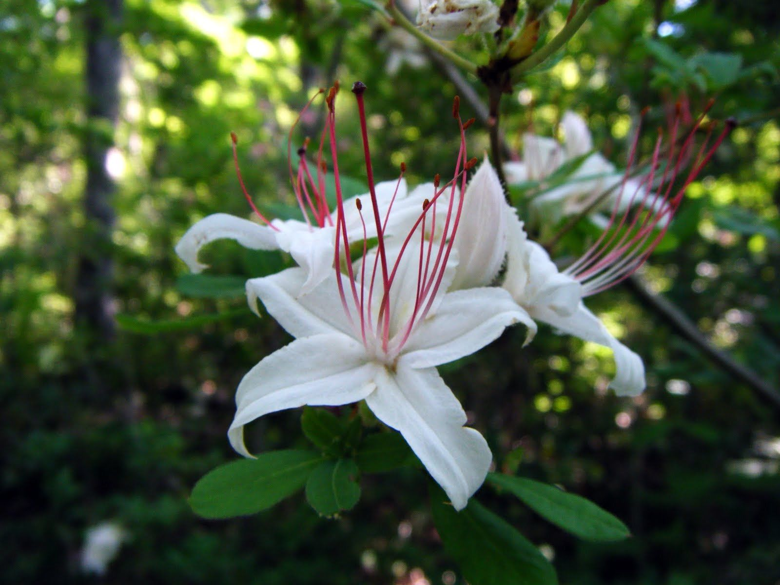 (Liner)      RHODODENDRON ' Arboroscens' gorgeous white flowers, native azalea plant