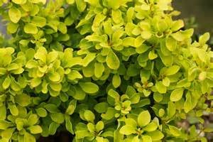 (1 Gallon) Golden Barberry, Super bright solid yellow foliage, Great for contrast and accent shrub, mass plantings.