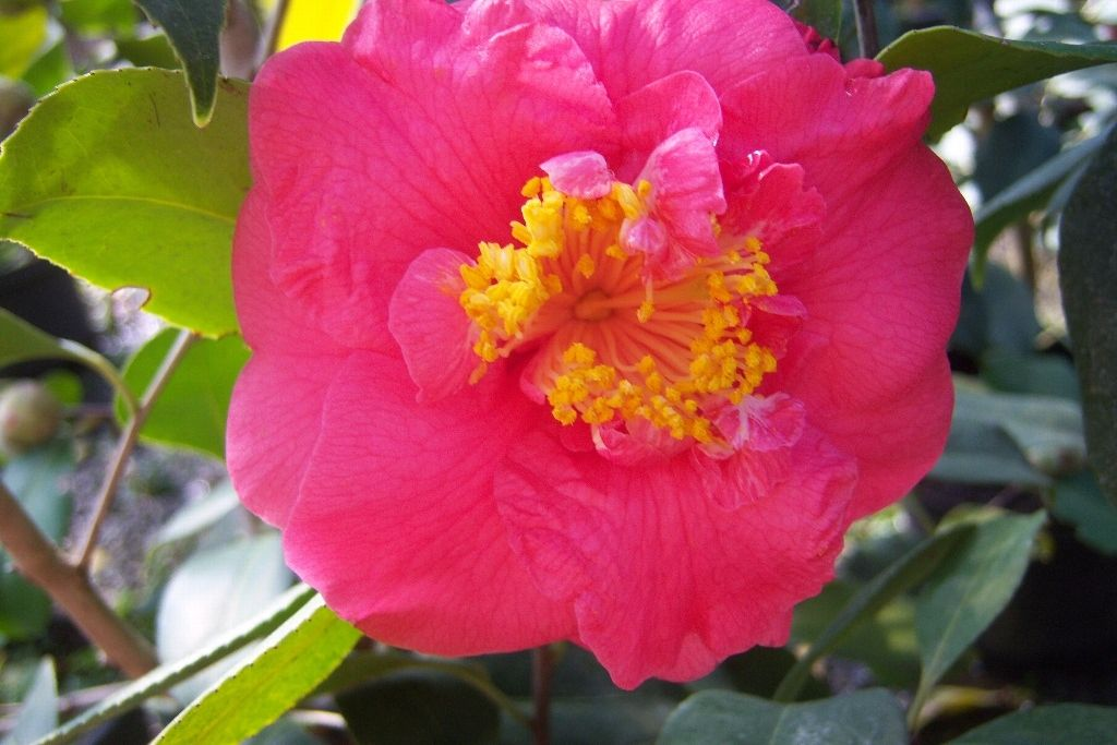 (3 Gallon)    Camellia R.L.Wheeler Flower Plant -Large semi-double to anemone form blooms of rose pink with occasional white variegated petals in the middle appear mid-season (late winter).