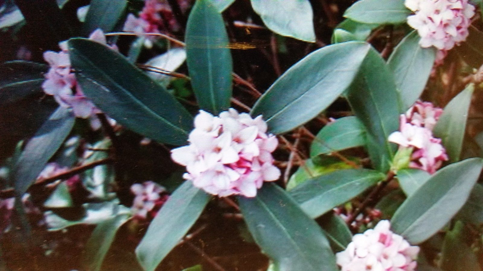 Daphne,Marginated pink, most exotic fragrant pink -FALL/WINTER BLOOMING)1 gal