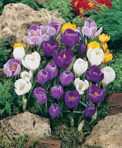 (Pack of 10 BULBS)  CROCUS MIXED Crocuses are the first real sign of spring, Feast of color in early spring with these super large flowering crocuses.