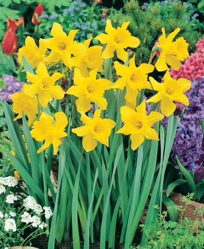 (Pack of 5 BULBS) Daffodil- KING ALFRED IMPROVED CHEERFUL single yellow blooms, worlds best-loved Daffodil, Cold Hardy, Deer Resistance, Disease Resistant, Drought Tolerant, Pest Resistant