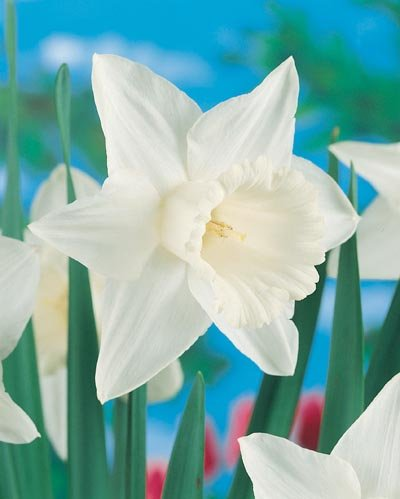 (Pack of 5 BULBS)   Daffodil- MOUNT HOOD TR Worlds Favorite Snow White Daffodil. Beautiful Giant White Blooms.  EASY TO GROW IN GROUND OR CONTAINERS