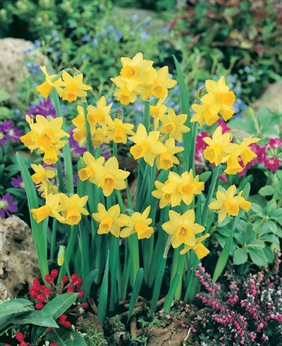 (Pack of 5 BULBS) Daffodil-TETE A TETE RG- Most Popular Miniature Worldwide, FRAGRANT, CHEERFUL Solid Yellow Blooms Welcome Spring With Smile, Great for Cuttings
