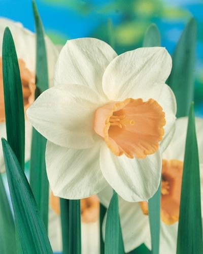 (Pack of 5 BULB)     Daffodil-SALOME Stunning Bicolor, Large, Apricot Colored Cups ~ Daffodil, Winner of Garden Merit from the Royal Horticulture Society.