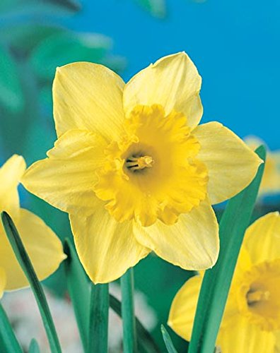 ( Pack of 5 BULBS) Daffodil-CARLTON EXQUISITE Two-toned Yellow Flowers with a Mild Vanilla Fragrance, Large Flowers