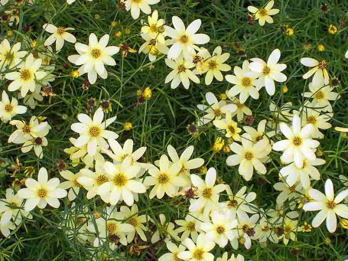 1 Gallon Pot: Coreopsis verticillata 'Moonbeam'.Threadleaf Coreopsis.