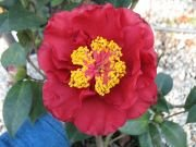 (3 Gallon) Camellia Bob Hope Flower Plant-Large Deep Red