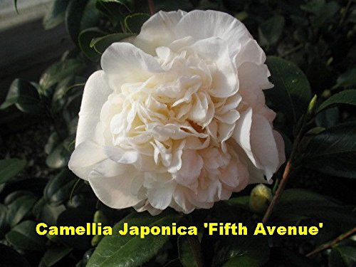(3 Gallon)    Camellia Fifth Avenue Flower Plant- Solid White, Large Blooms