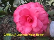 (3 Gallon) Camellia Helen Bower Flower Plant- Flushed with Violet