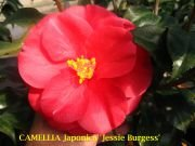 (3 Gallon) Camellia Jessie Burgess Flower Plant- Rose Color Bloom
