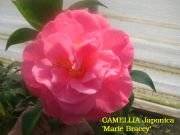 (3 Gallon) Camellia Marie Bracey Flower Plant - Showy Coral Rose