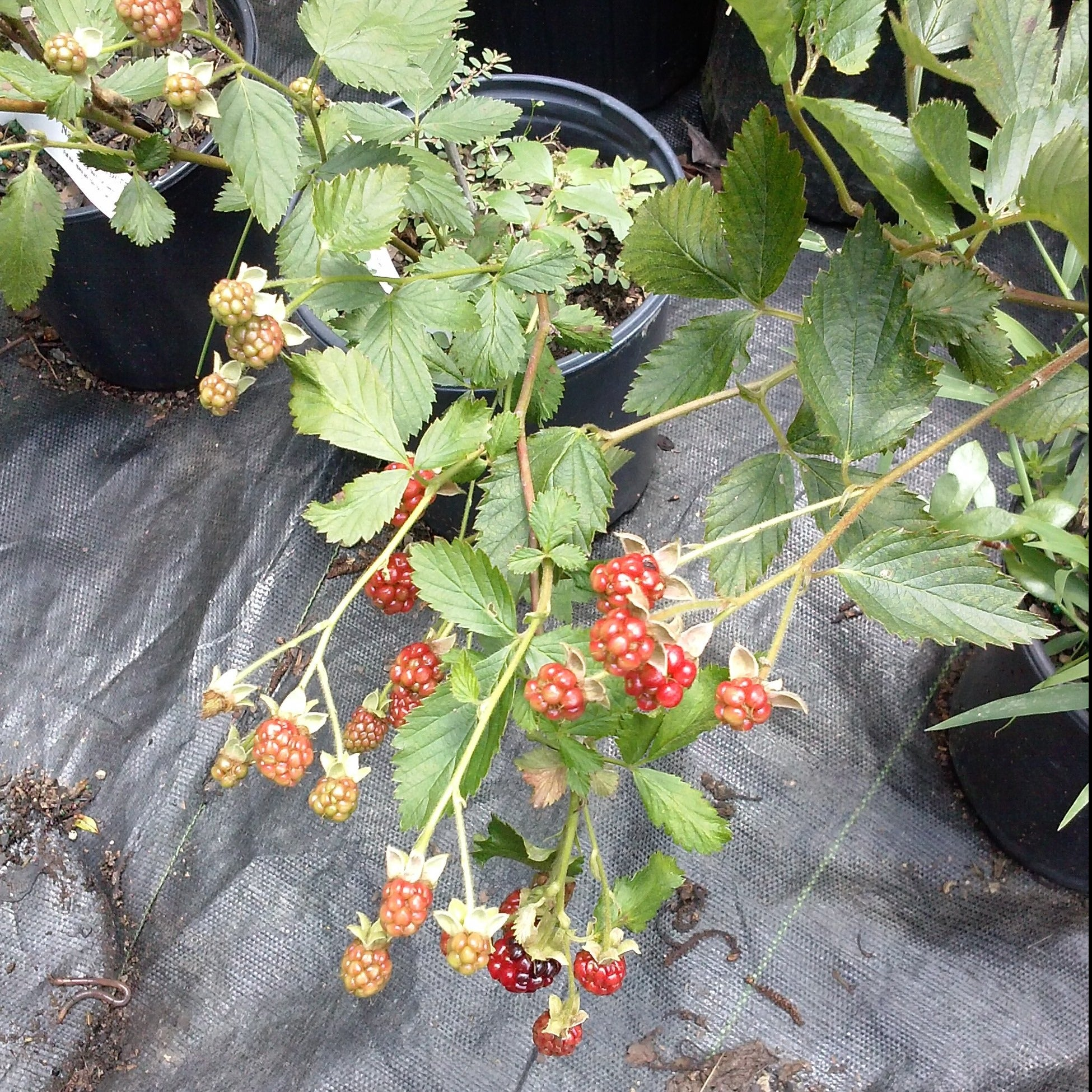 Raspberry Dorman Red, Excellent Flavor Best Raspberry for the South It Is Heat, Drought, and Disease Resistant. (1 Gallon Bareroot Plant)