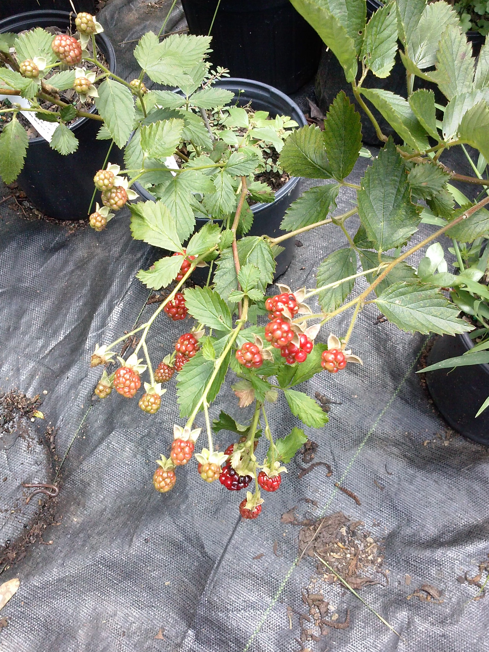 Raspberry Mysore, Excellent Flavored Raspberry Adapted Well to Warmer Regions. Fruits Are Dark-purple/black, with a Sweet (1 Gallon Bareroot Plant)