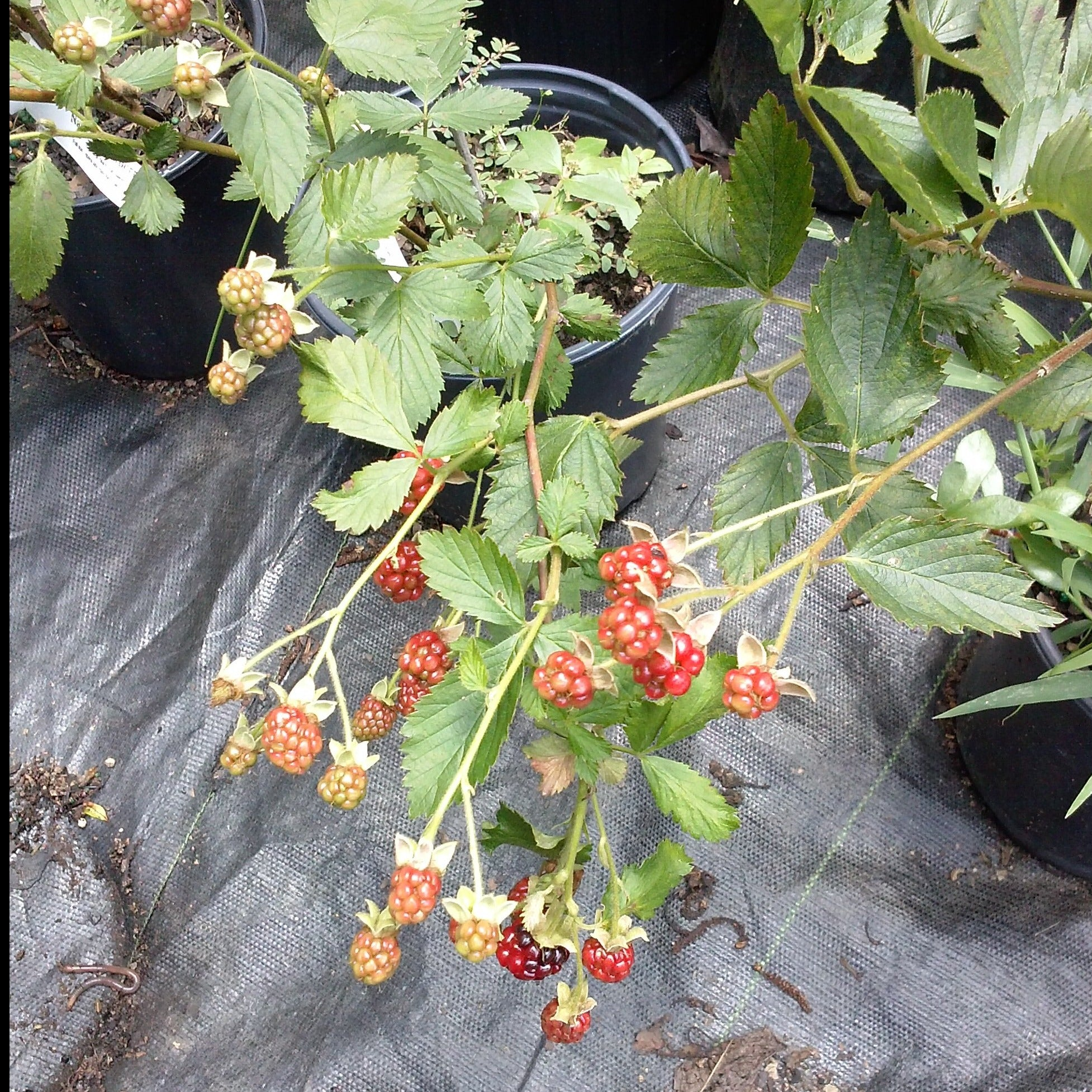 (1 Gallon ) Raspberry Dorman Red, Excellent Flavor, Heat, Drought and Disease Resistant