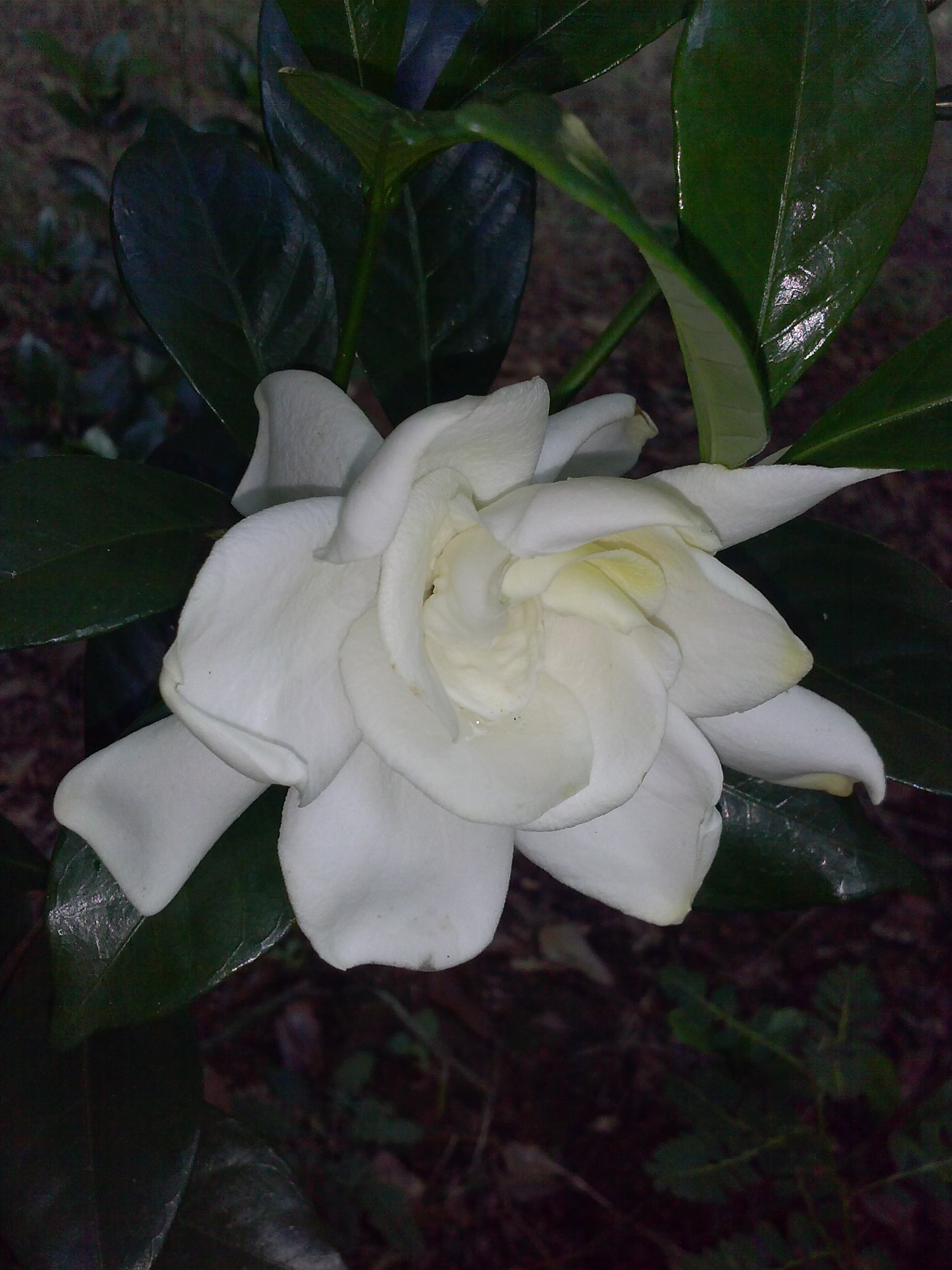 (1 Gallon) CHUCK HAYES Gardenia - Gorgeous White Blooms and Glossy, Green Leaves. Very Fragrant.