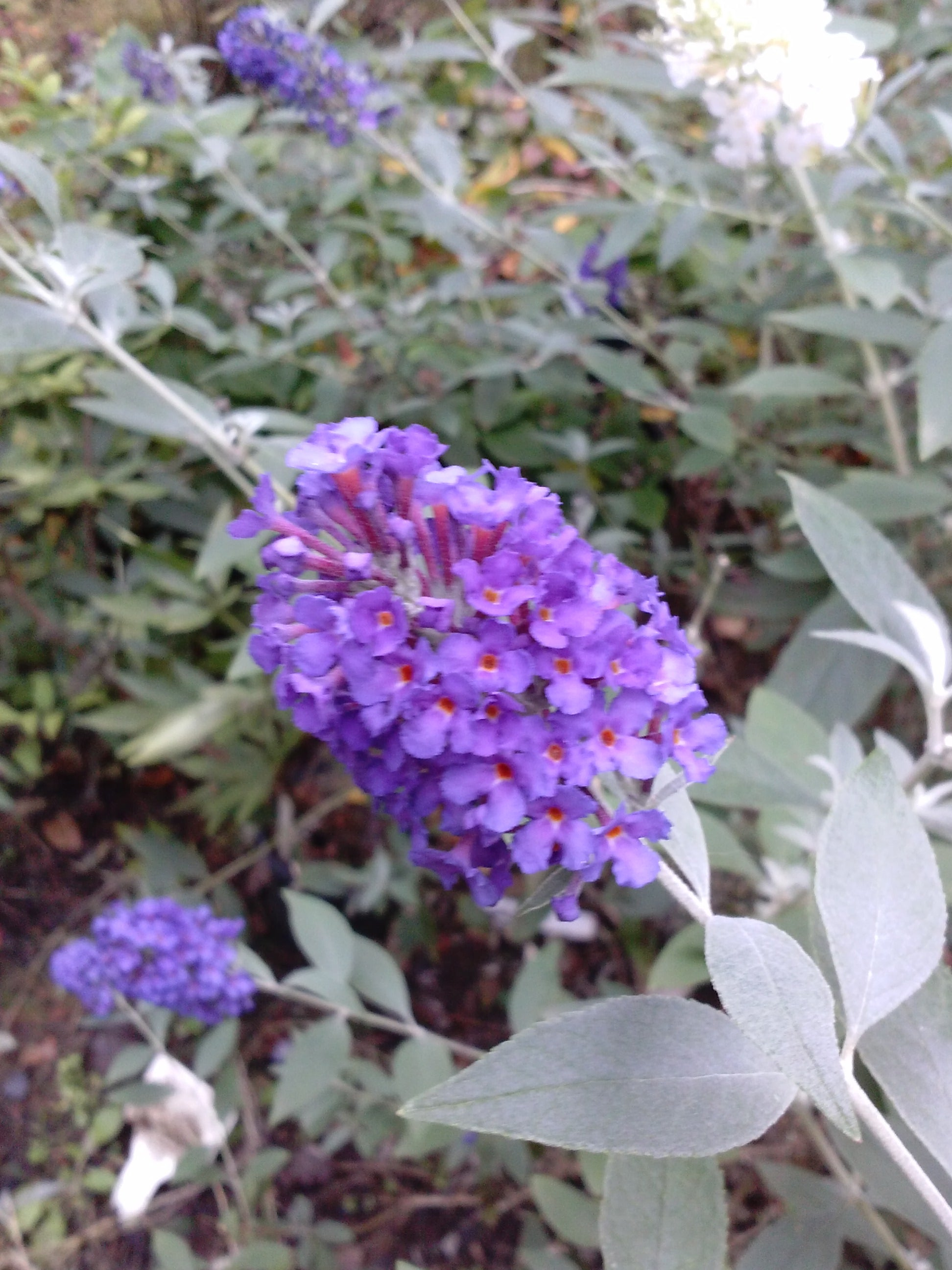 (Liner) GRIFFIN BLUE' Butterfly Bush, True Blue Beauty