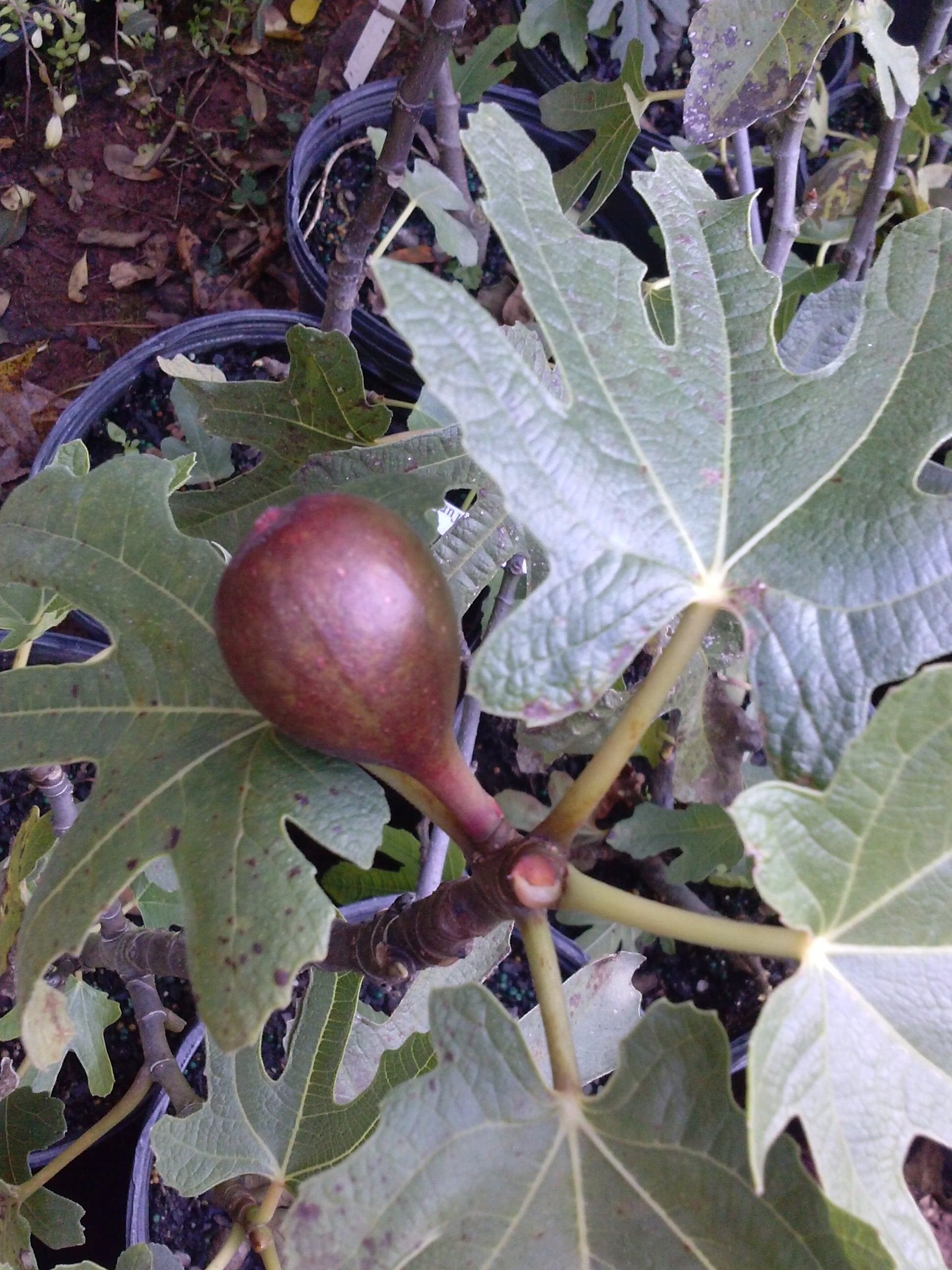 MAGNOLIA Fig Tree, great tasting fig, used extensively in commercial production.