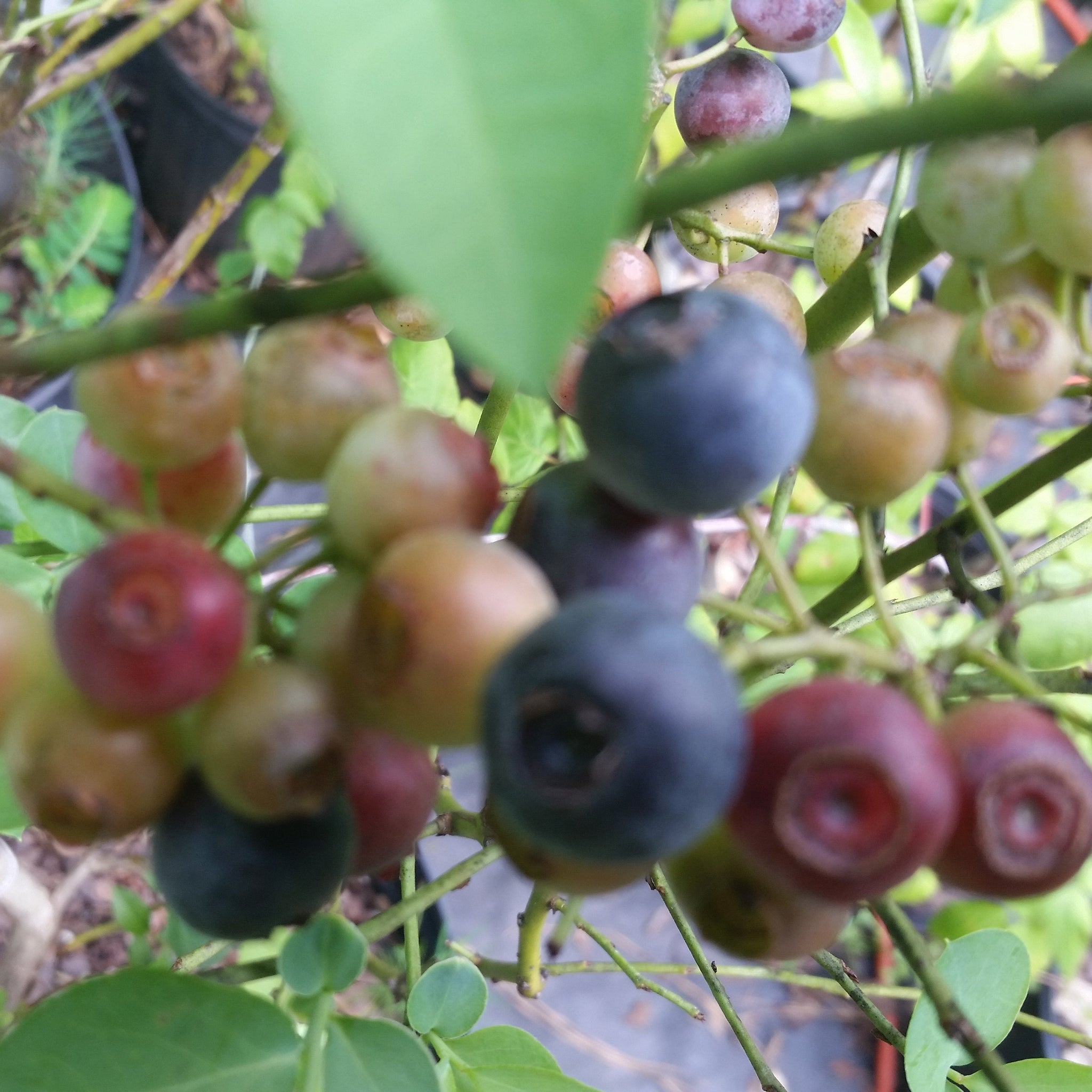 BONITA Blueberry Shrub, early variety, good for warmer climates, firm large size fruit, lIght blue color, great flavor