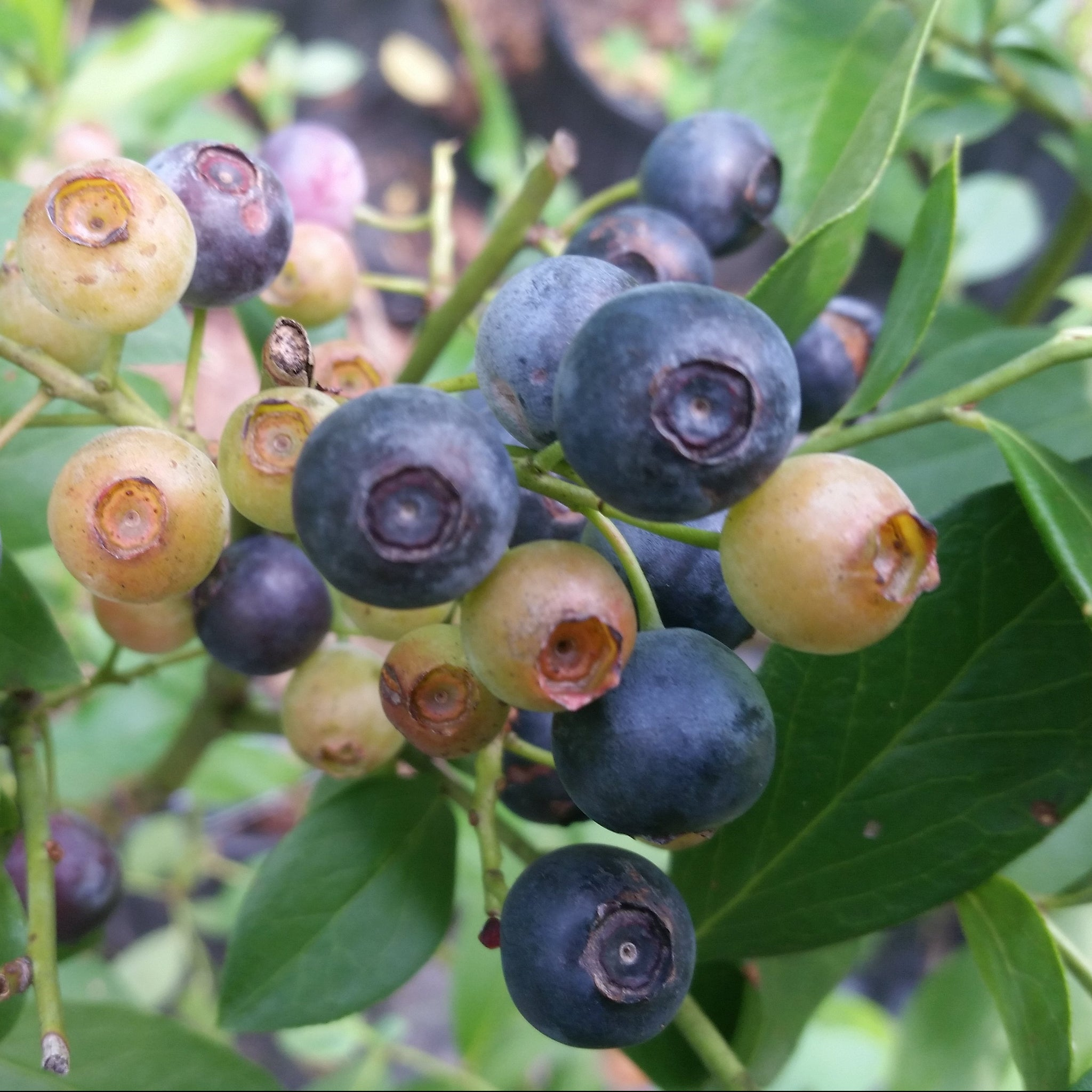 ALICE BLUE Blueberry Shrub, fruit ripens early, good color and size