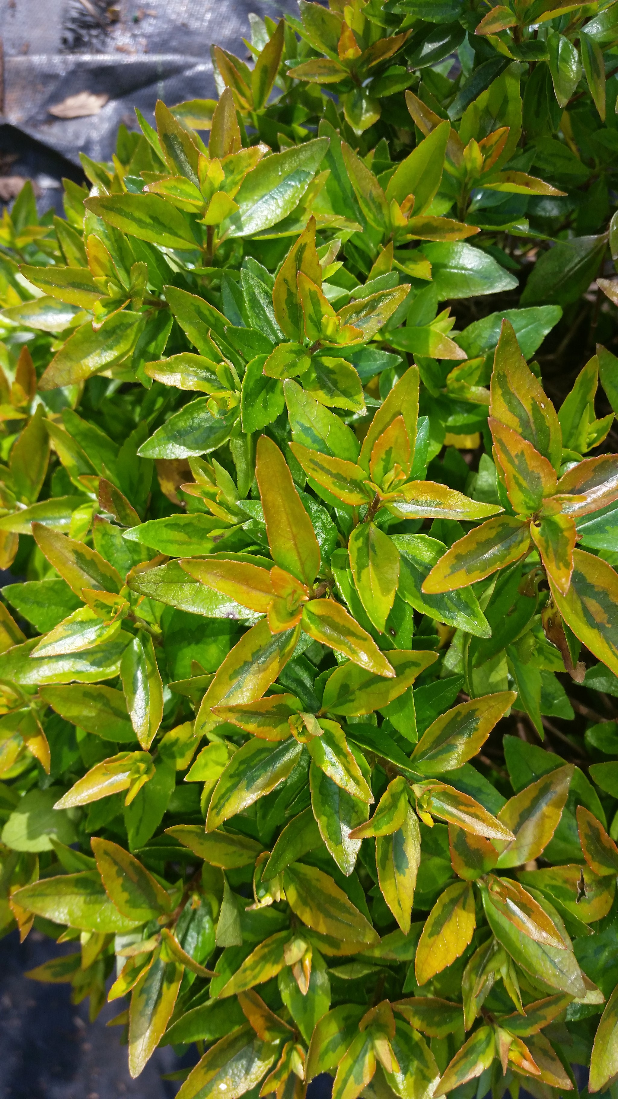 Abelia SUPER GOLD- gorgeous dwarf and compact Evergreen with Very Showy Leaves, Bloom Time: May to September, White Showy, Fragrant blooms