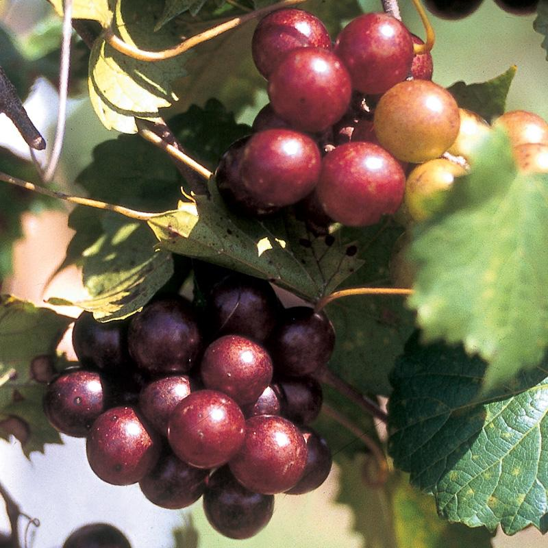 (1 Gallon) SCARLETT Muscadine Grape Vine Shrub, FEMALE (needs self fertile variety for cross pollination) Red COLOR, Great Source of Antioxidants